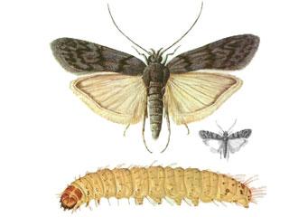 bug-1-Ephestia-kuehniella